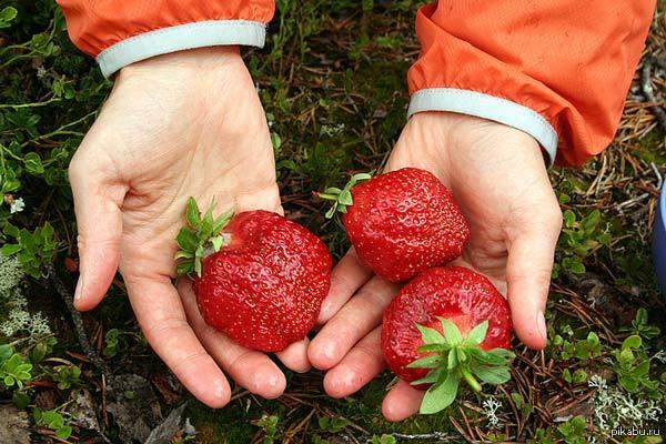 Простий рецепт, як доглядати за домашніми ягодами для багатого врожаю!