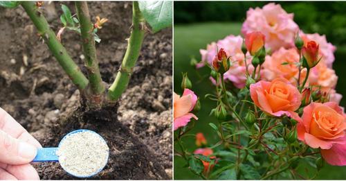Підгодівля трояндових кущів влітку. Яке добриво, та коли краще вносити