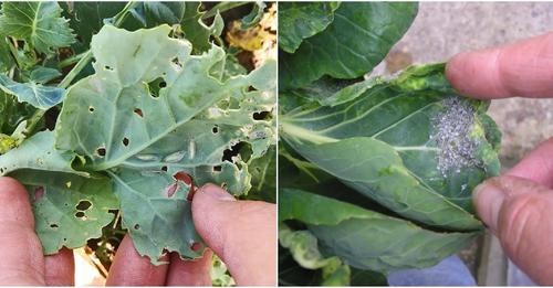 Щоб капусту не чіпали попелиця і гусениці, обробіть її цими засобами